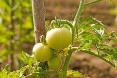roślina pomidor Obraz Stock