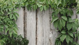 Roślina r na ogrodzeniu obraz royalty free