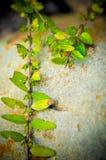 Roślina r up na krakingowym kamieniu Obraz Stock