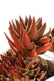 roślina sukulent Obrazy Stock
