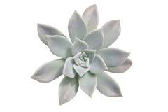 roślina sukulent Obraz Royalty Free
