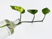 Roślina w butelce Obraz Royalty Free