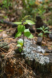 Roślina w lesie Obraz Stock