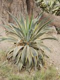 Roślina z cierniami w lesie Obrazy Royalty Free