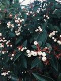 Roślina z jagodami Fotografia Royalty Free