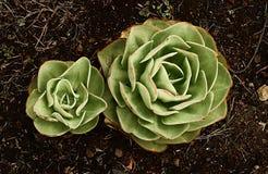 Roślina z kilka KALANCHOES Obrazy Stock