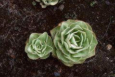 Roślina z kilka KALANCHOES Obraz Royalty Free