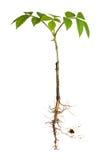 roślina zakorzenia potomstwa Zdjęcie Royalty Free