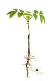 roślina zakorzenia potomstwa Zdjęcia Royalty Free