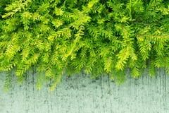 Roślina zielony krzak w ogródzie Obrazy Royalty Free