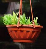 Rośliny agawa Zdjęcia Stock