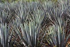 rośliny agawy Zdjęcia Royalty Free