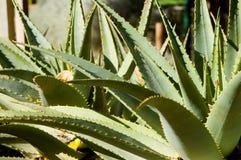 rośliny aloesu Zdjęcia Stock