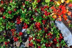 Rośliny Altai Obraz Stock