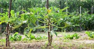 Rośliny courgettes Zdjęcia Royalty Free