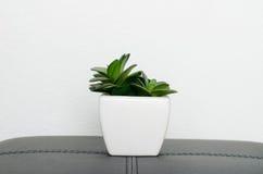 rośliny dekoracyjna Fotografia Royalty Free