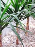 rośliny dekoracyjne Zdjęcie Royalty Free