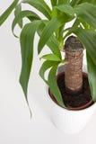 rośliny domowa jukka Zdjęcia Stock