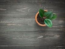 Rośliny ficus elastica na drewnianym tle zdjęcia royalty free