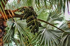 Rośliny Gran Canaria Wino palma Hyphaene coriacea Palmera de Fotografia Royalty Free