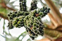 Rośliny Gran Canaria Wino palmy owoc Hyphaene coriacea kumpel Fotografia Royalty Free