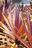 Rośliny jukka Zdjęcie Stock
