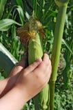 rośliny kukurydzana Zdjęcia Stock
