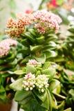rośliny kwitnienia kwiaty Zdjęcie Stock