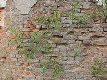 Rośliny na cegle Obrazy Royalty Free