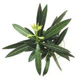Rośliny Nerium bielu oleander zdjęcia stock