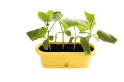 rośliny odizolowana zdjęcie royalty free