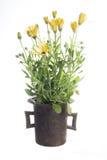 rośliny ogrodowa Zdjęcie Stock