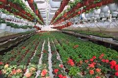 Rośliny pepiniera w szklarni Zdjęcie Stock