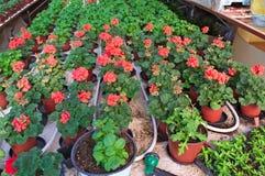 Rośliny pepiniera w szklarni Zdjęcia Royalty Free
