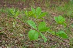 rośliny rubus Zdjęcia Royalty Free