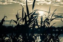 Rośliny sylwetka F Fotografia Stock