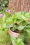 rośliny truskawka Zdjęcie Stock