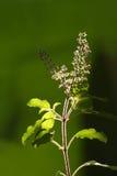 rośliny tulsi Zdjęcie Royalty Free