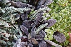 Rośliny w hoarfrost Fotografia Royalty Free