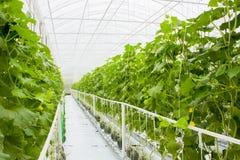 Rośliny w hydroponic szklarni Obrazy Royalty Free