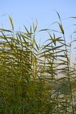 Rośliny w Nile rzece Egypt Fotografia Royalty Free