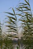 Rośliny w Nile rzece Egypt Zdjęcie Stock