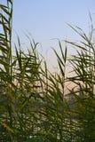 Rośliny w Nile rzece Egypt Obraz Stock