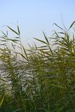 Rośliny w Nile rzece Egypt Zdjęcia Stock