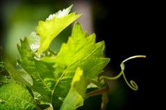 rośliny winogron Zdjęcie Stock