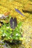 Rośliny Wodne w stawie Obraz Royalty Free