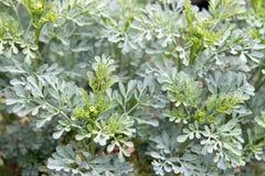 rośliny zielarska ruta Obraz Royalty Free