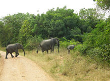 Ro modern och behandla som ett barn afrikanska elefanter som korsar spårnationalparken Royaltyfri Bild