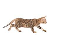 Roa den Bengal kattungen som isoleras på den vita bakgrunden Arkivfoton