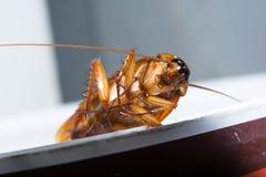 Roach θέση Στοκ Φωτογραφία
